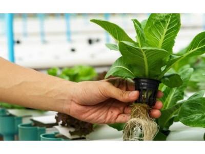 Перевод растения с почвенного выращивания в гидропонную установку